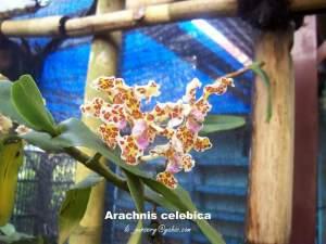 arachnis-celebica_b
